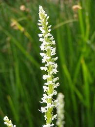 Rein Orchid in Little Green Valley meadow